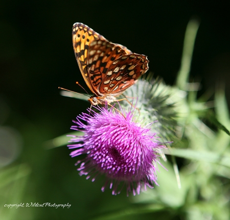 butterfly thistle 2573-2 wc