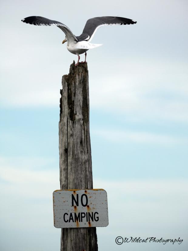 seagull 9856 wc.jpg